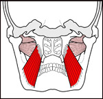 pterygoid-coronal-section
