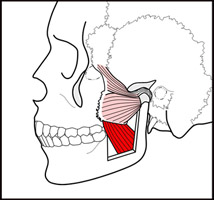 pterygoid-med-lat