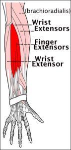 extensor-muscles2