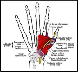 Hand muscles between thumb and wrist